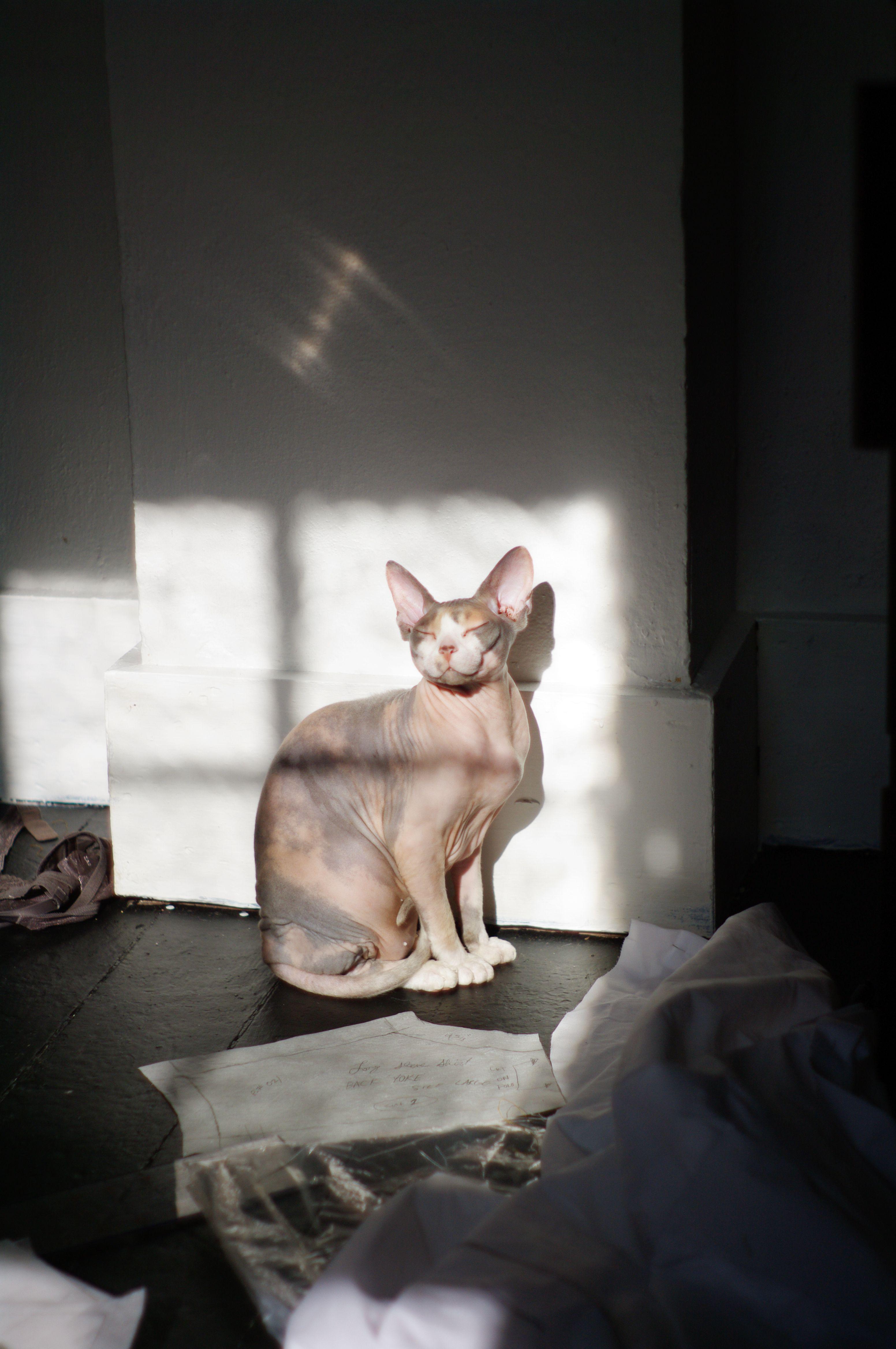 Calliope. Sun bath. 2014 Photo by Lindsey Frances. Sphynx. Hairless Cat.