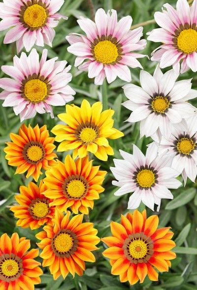 Gazania Lsniaca Kwiaty Na Taras I Balkon Sloneczne Deokoracje Gazania Flowers Full Sun Flowers Flowers