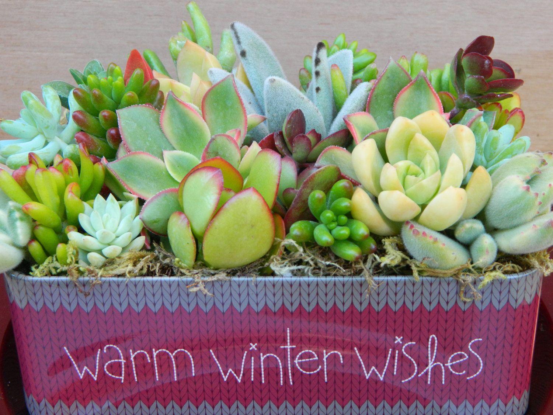 Christmas Succulent Gift.Succulent Christmas Centerpiece Succulent Gift Garden