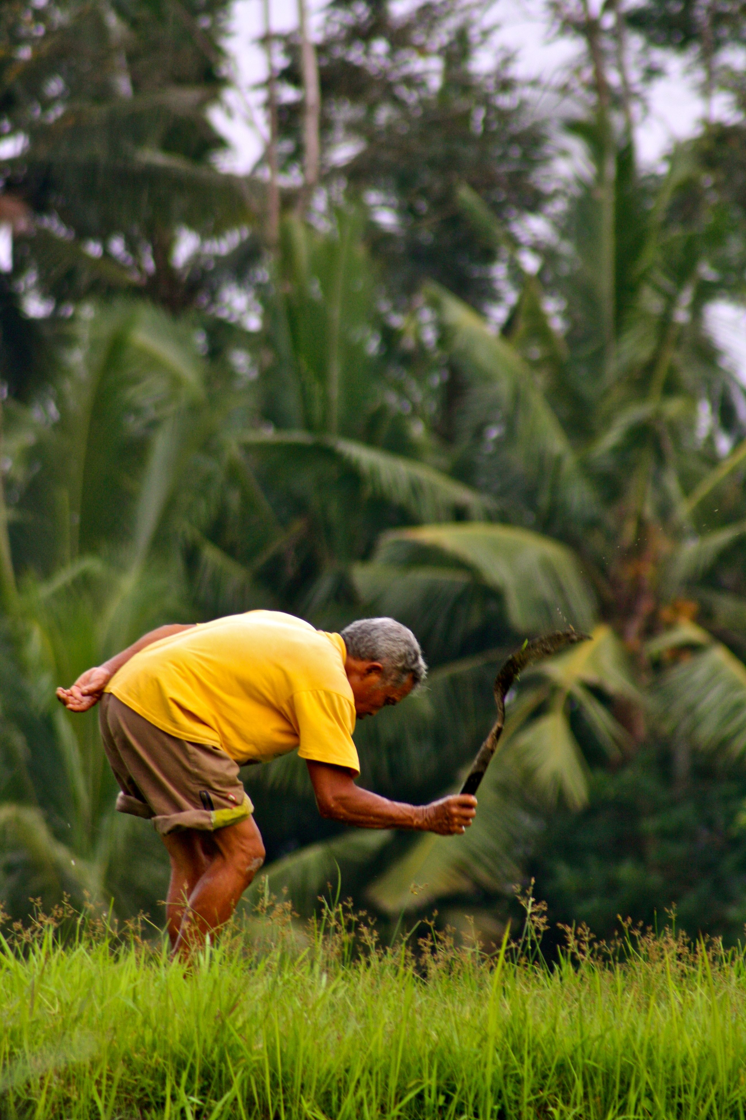 Attending to his paddy field. Ubud, Bali, Indonesia