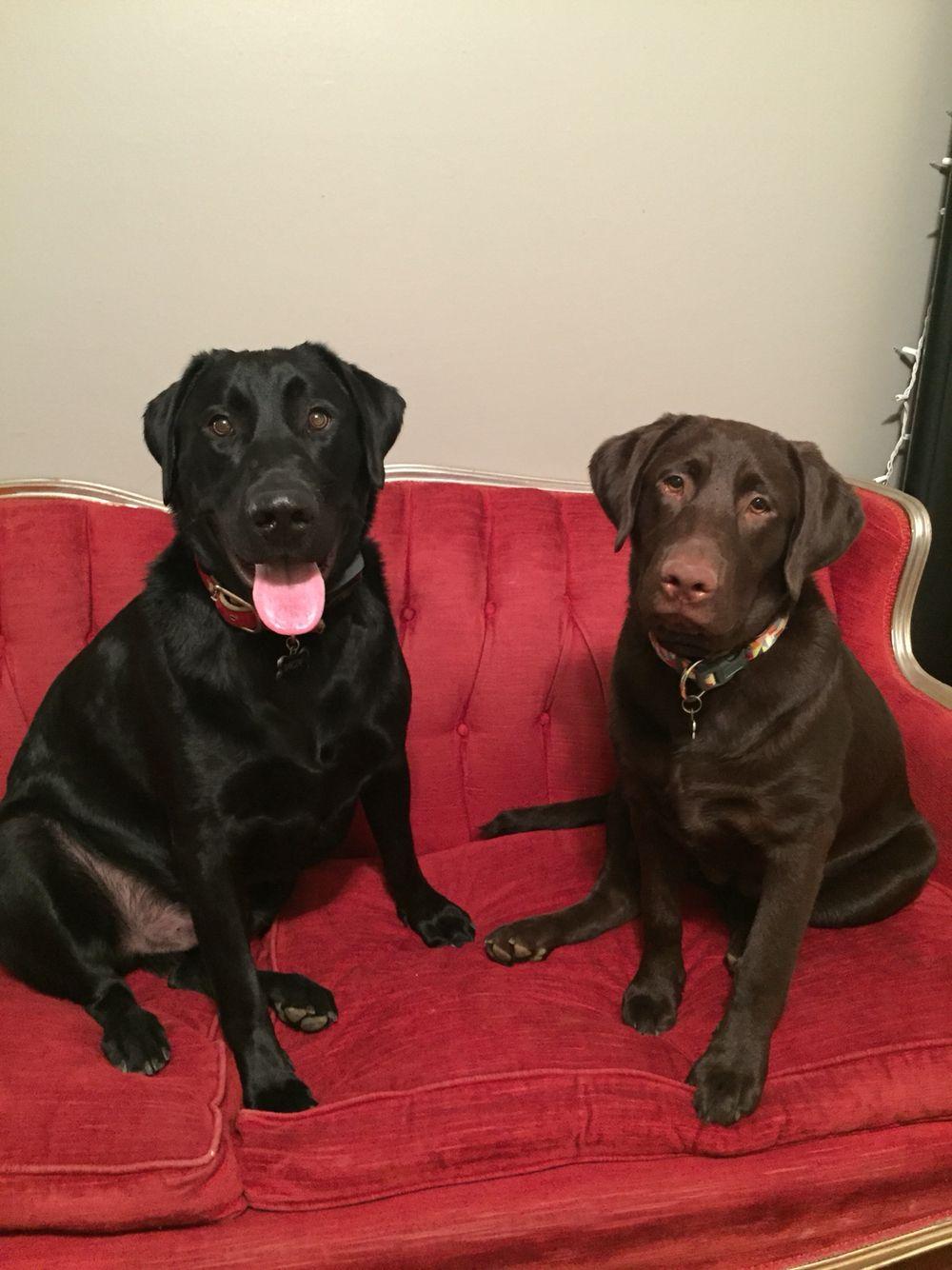 Life As A Labrador Mox And Ari Black Labrador Labrador Puppy Love