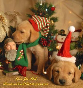 Puppies Pets Amp Animals For Sale In Houston Ebay Classifieds Pets For Sale Puppies Labrador Puppy