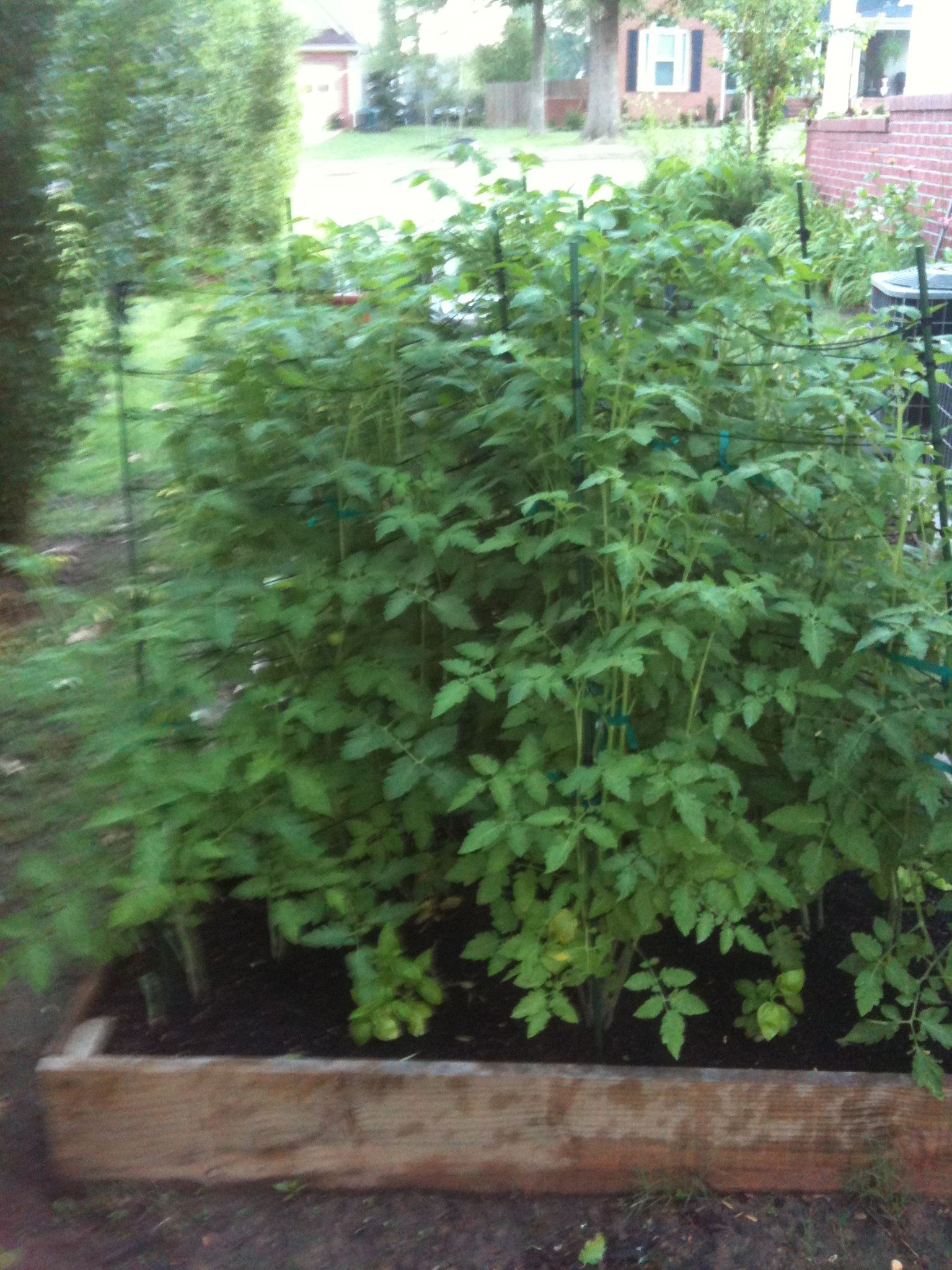The raised bed filled in with tomatoe plants we had an