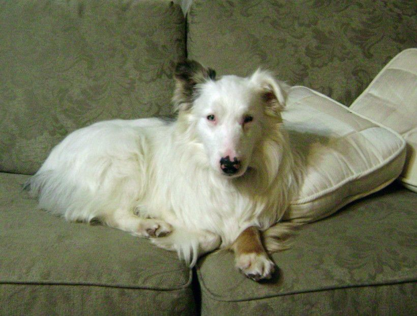 ADOPTED NS 0864 Baloo 8 Year Old Blue Merle Lethal White