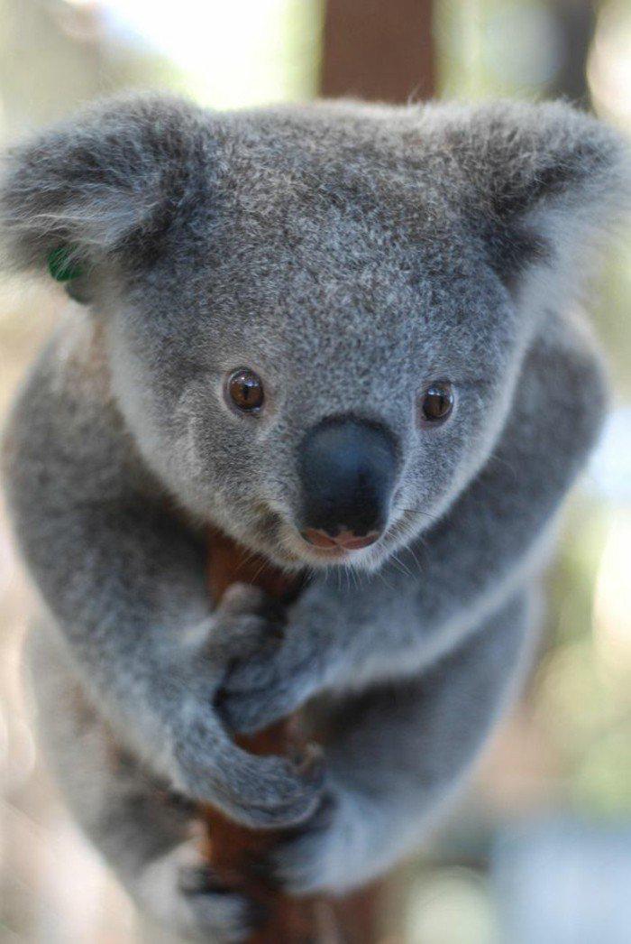 Pin by Bettie on Животный мир Koala, Cute animals, Baby