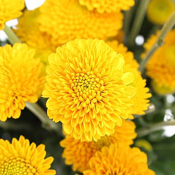 Golden yellow button flower button flowers flowers wholesale and fiftyflowers golden yellow button flower 999912 bunches 6 8 per ea 4 7 bloom per stem mightylinksfo