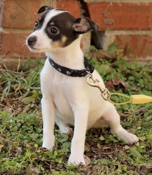 What about this sweet little boy? Can we help finding a loving and hopefully forever home for him? http://www.doggielife.com/alex/dogs/ZTGOH0 #dogs #ratterrier