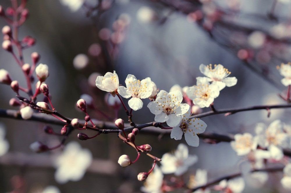 Like And Share If You Think It S Fantastic Enjoy Https Www Aquafood Co Uk Ornamental Cherry Bloom Free Images