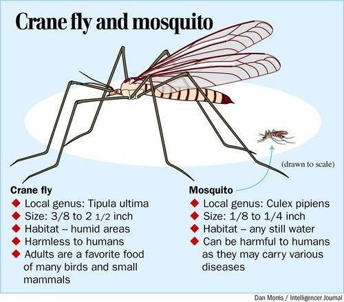 Crane Fly Amp Mosquito Insects Insects Bugs Fan
