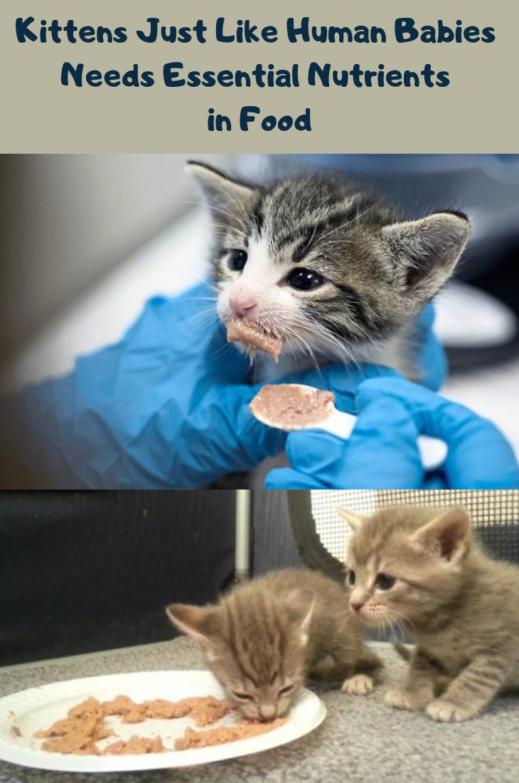 Feeding Your Kitten Kittens Cute Cats And Kittens Kitten