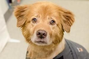 Ginger Is An Adoptable Golden Retriever Dog In Asheville Nc This