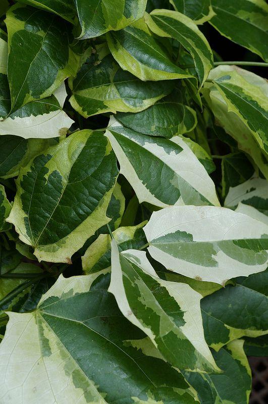 Thunbergia Grandiflora Variegata 1 Variegated Plants Plants