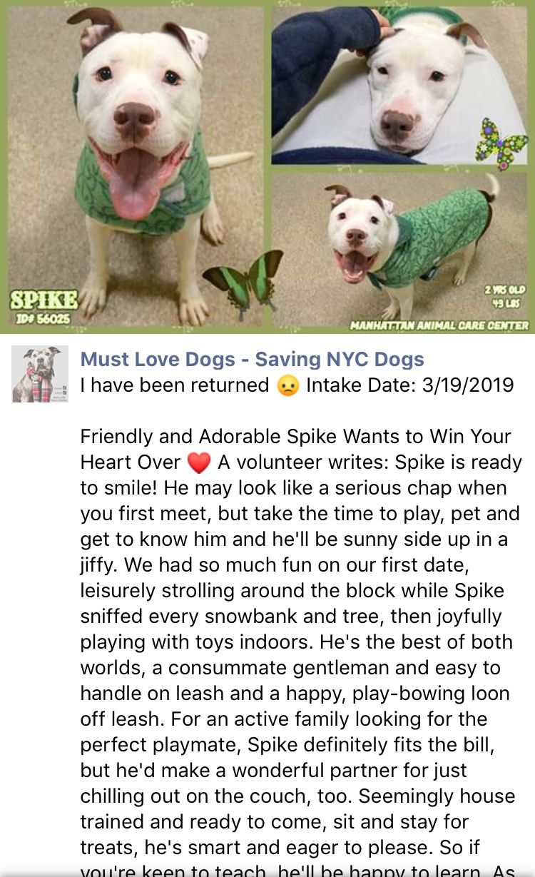 3 19 19 Spike Was Returned To The High Kill Center Nyc Acc Ij2 Nyc Dogs Dog Adoption Pets