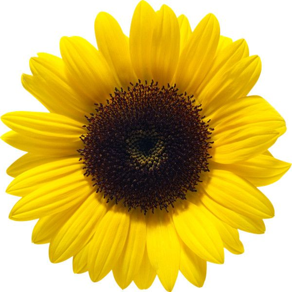 Pin By Li Ly On My Polyvore Finds Sunflower Png Sunflower Flower Sunflower Clipart