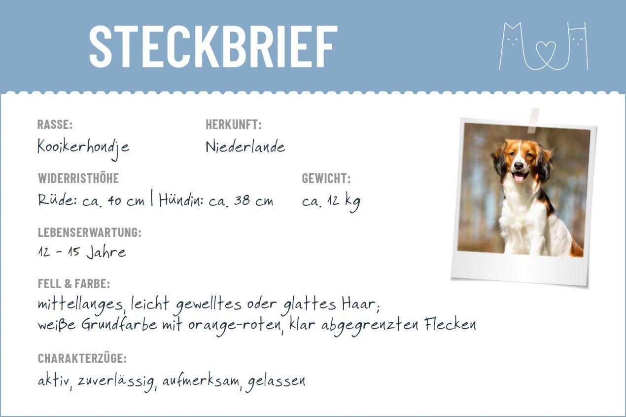 Kooikerhondje Steckbrief Charakter Pflege Haltung Steckbrief Hunderassen Hund Steckbrief