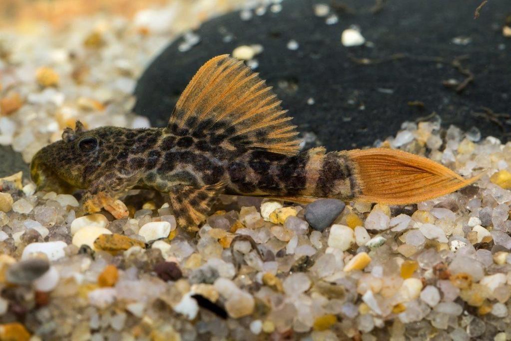 L 600 Leopard Pleco Fish Tank Fish Tropical Fish