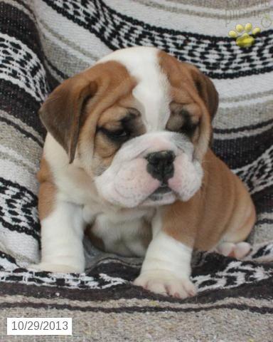 English Bulldog Puppy For Sale English Bulldog Puppies Bulldog Puppies Puppies