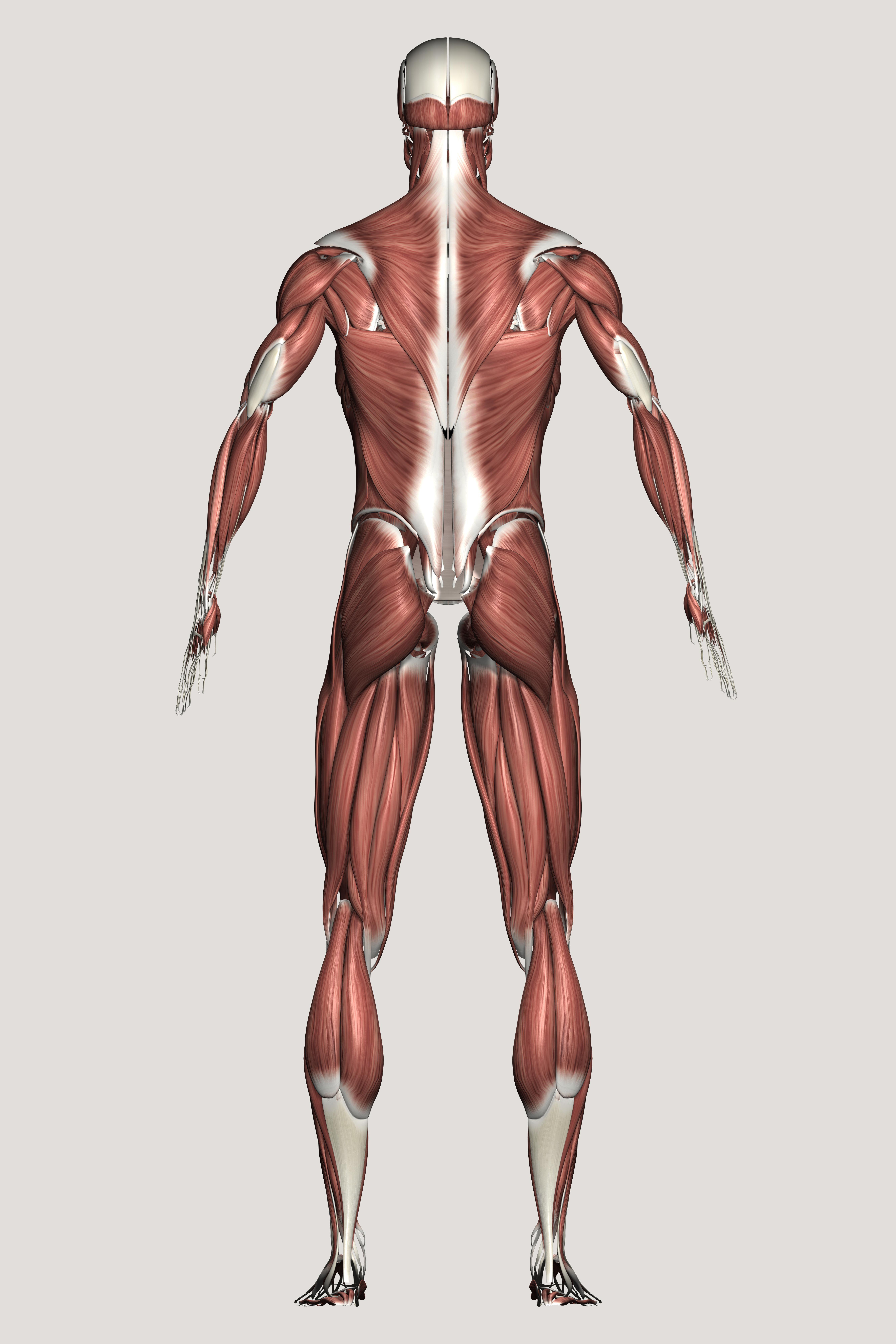 Anatomie du corps humain - Corpus - réseau Canopé   anat   Pinterest