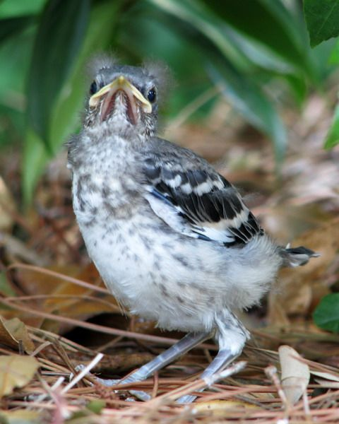 33++ What to feed a baby mockingbird information