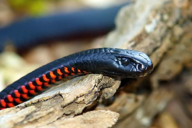 Red Bellied Black Snake Australian Animals Snake Australian Animals Snake Photos