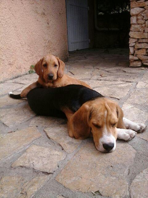 Chiot basset fauve de bretagne et beagle