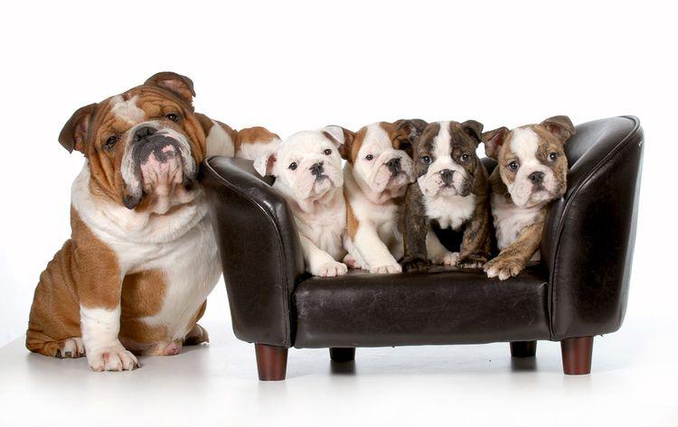 13 Reasons Why Bulldogs Are Amazing Cute Bulldog Puppies