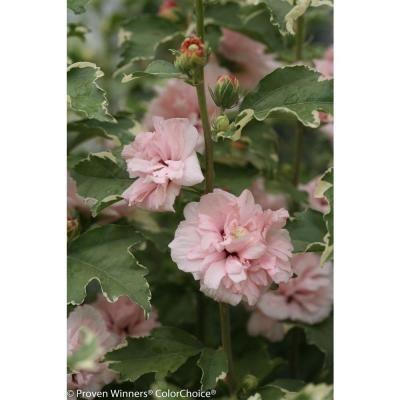 Spring Hill Nurseries Cecile Brunner Climbing Rose Live Bareroot
