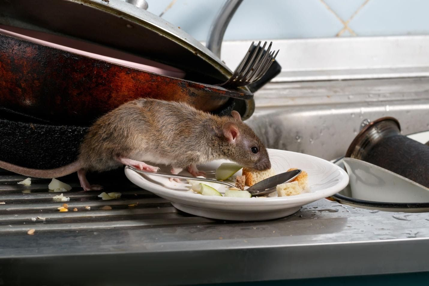 Pin By Supol Suttikarn On Jcpest In 2020 Rodent Problem Rodents Getting Rid Of Rats