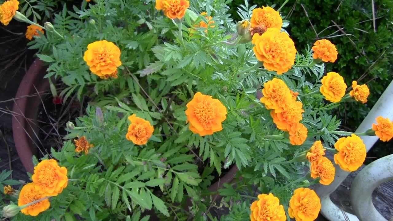 SAVING SEEDS TIPS MARIGOLDS Seed saving, Growing