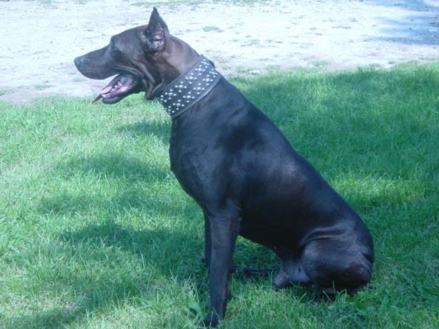 Canis Panther Info Temperament Puppies Pictures Dogs Doberman Pinscher Doberman Pinscher Puppy