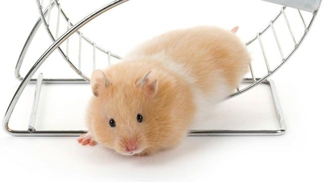 Pin on Hamsters!
