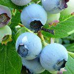 Bluecrop - Fruitbomen.net Mobiel