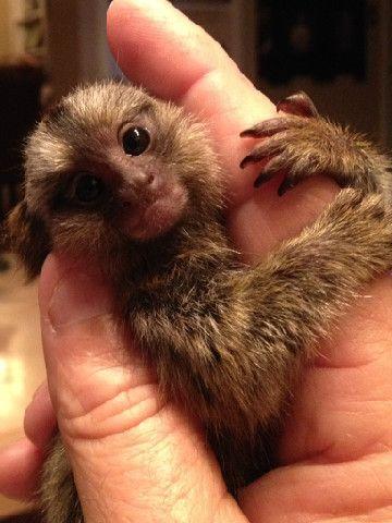 Baby Marmoset Monkeys For Sale Marmoset Monkey For Sale Marmoset Monkey Cute Baby Animals