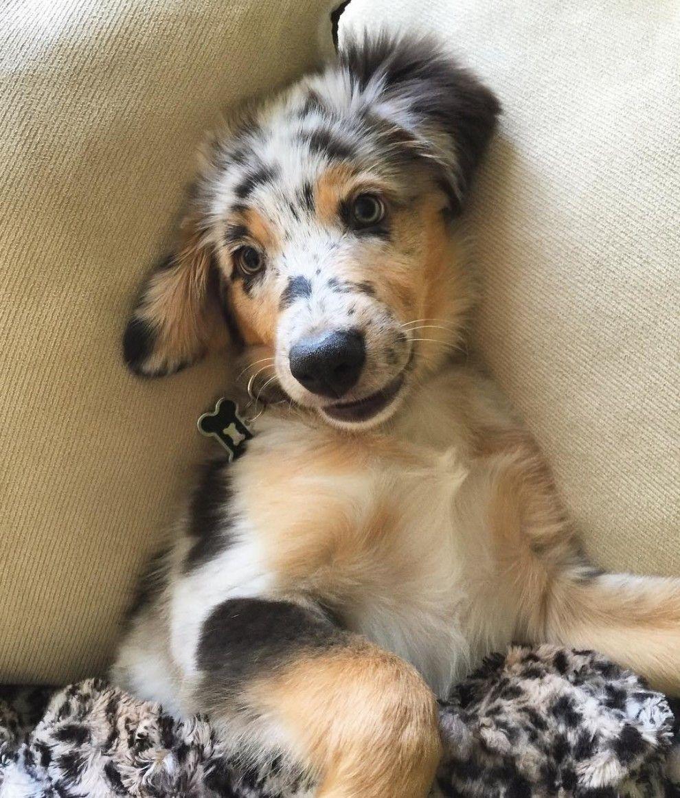 17 Beweise Dass Australische Schaferhunde Die Widerlichste Hunderasse Der Welt Sind Australian Shepherd Dogs Australian Shepherd Australian Shepherd Blue Merle