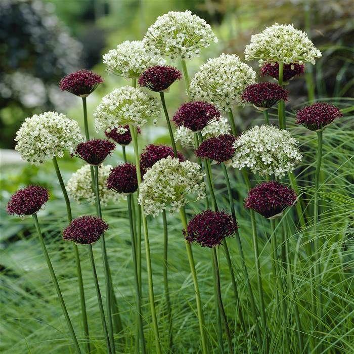 allium combo nigrum atropurpureum 20 bloembollen kopen veilig online bestellen plants. Black Bedroom Furniture Sets. Home Design Ideas