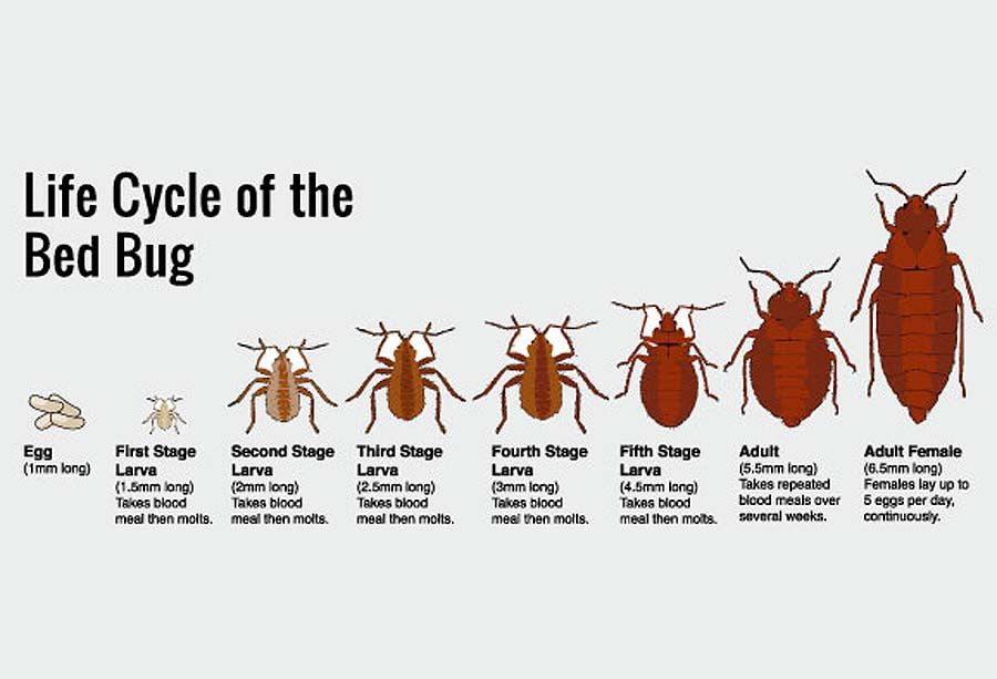 At first lets find out what kind of pests the bed bugs