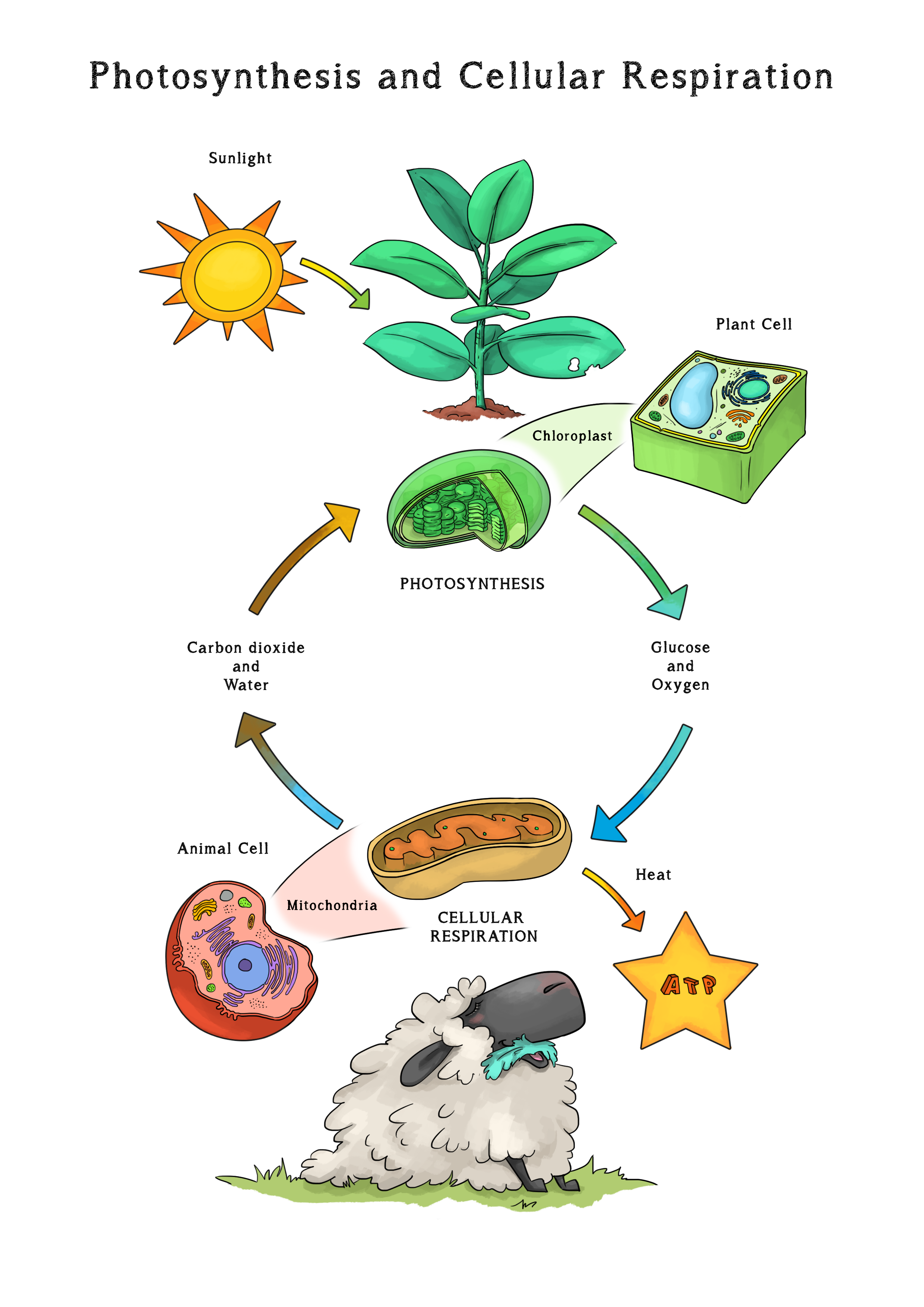 Pin by Loopy Lou on Loopy Lou Resources Photosynthesis