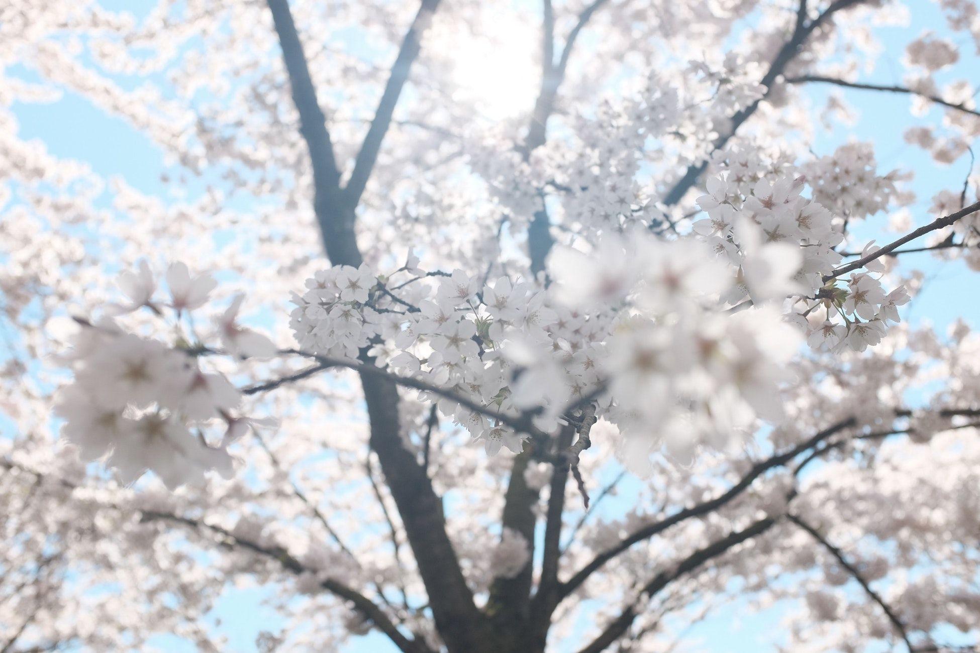 White Cherry Blossom Tree Under Clear Blue Sky White Cherry Blossom Blossom Trees Cherry Blossom Tree