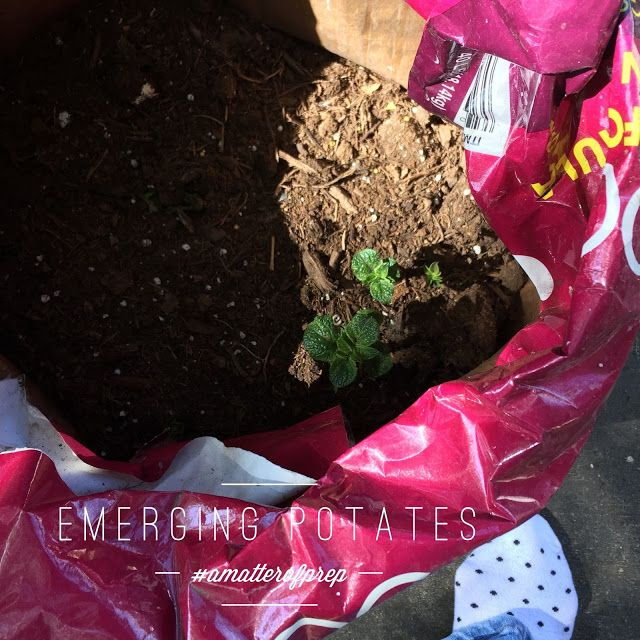 Download It S A Matter Of Growing Potatoes In A Bag Growing Potatoes Diy Dog Food Dog Food Recipes