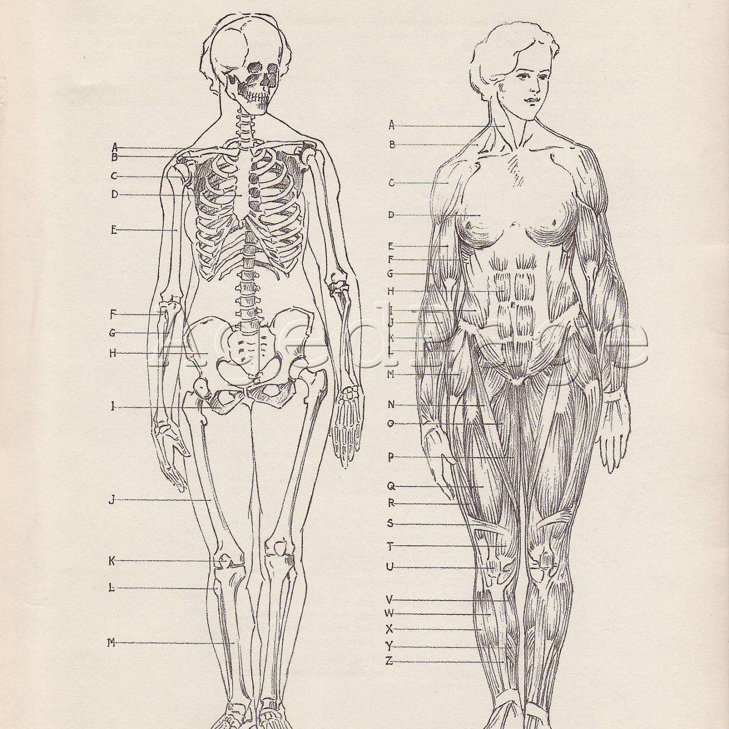 Vintage Anatomy Print Human Anatomy Chart Book Illustration Bones And Muscles Of The Female Full Figure Human Anatomy Chart Human Anatomy Book Illustration