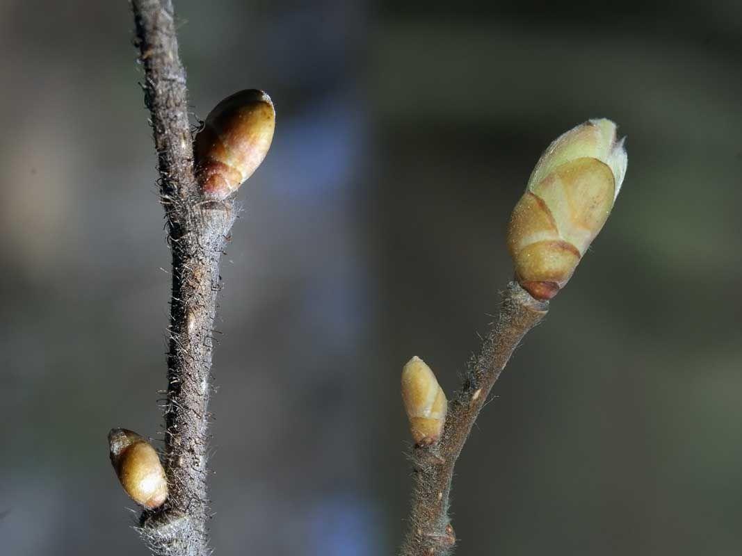 Pähkinäpensas, Corylus avellana - Puut ja pensaat - LuontoPortti