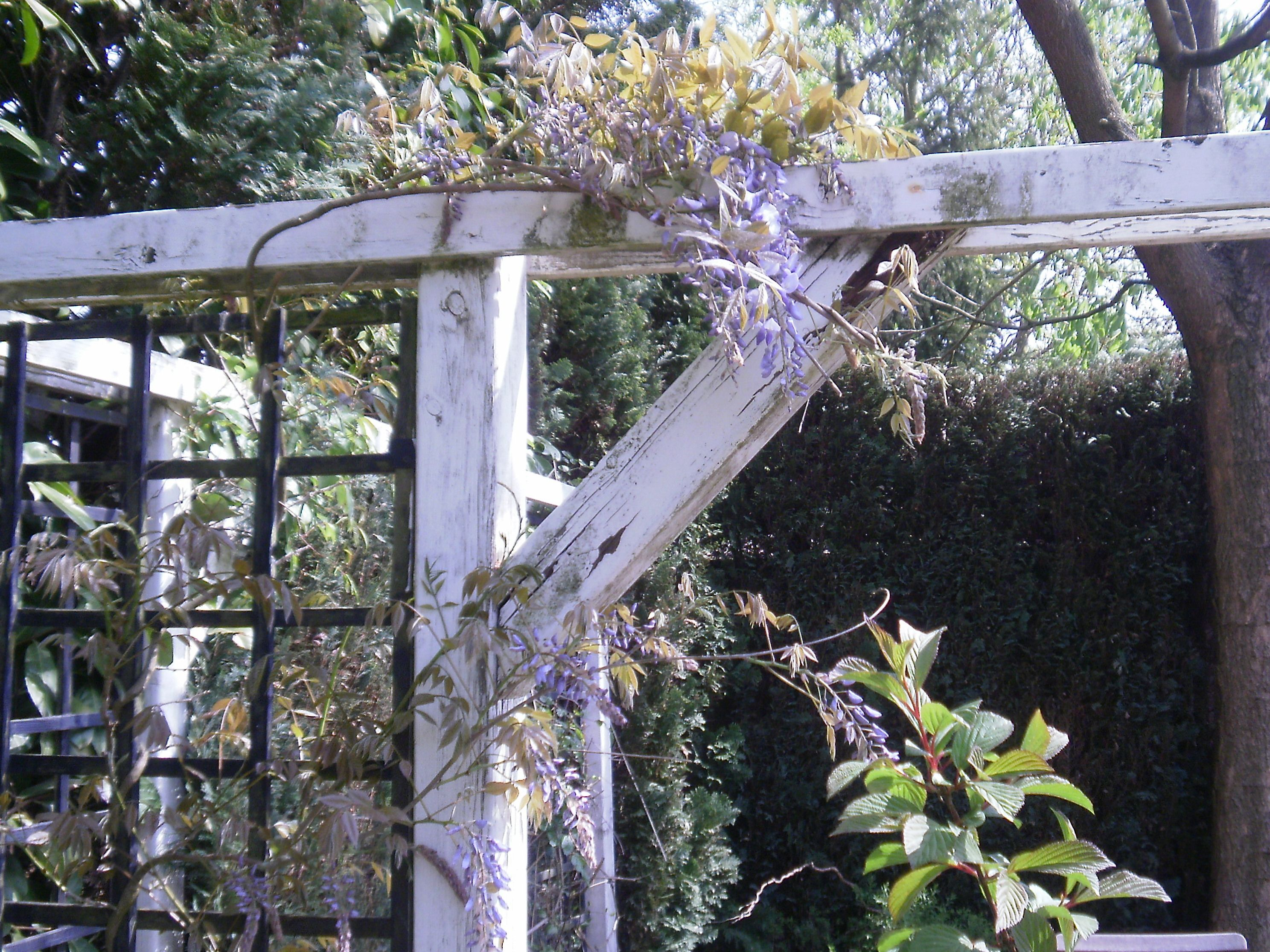 Wisteria (we planted the Wisteria in 1991 and in 2010 we saw the first flowers!)