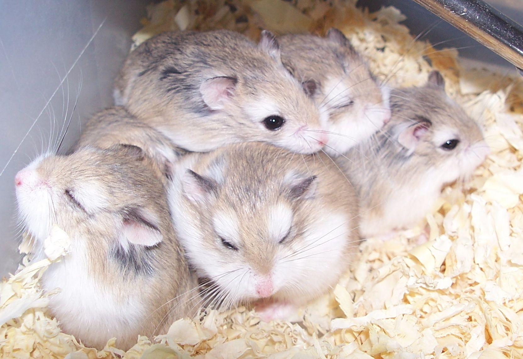 The Syrian Hamster Is One Of The Most Adorable Small Pets That