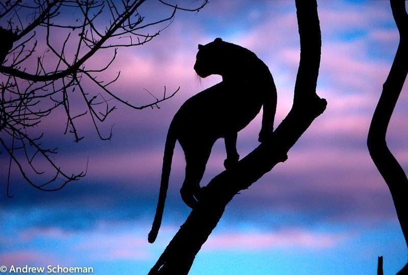 Leopard Silhouette by Andrew Schoeman, via 500px