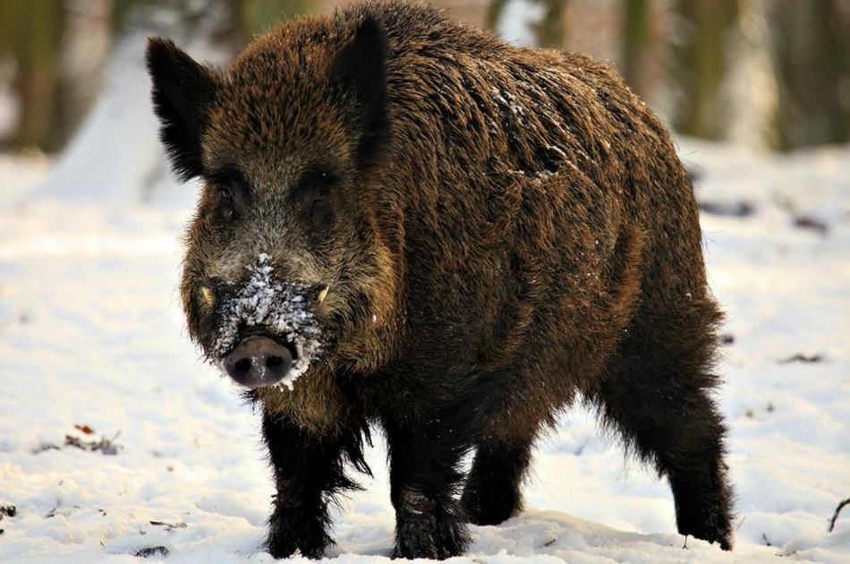 Unlike deer and other game, hogs are tenaciously hard to kill. Heed ...