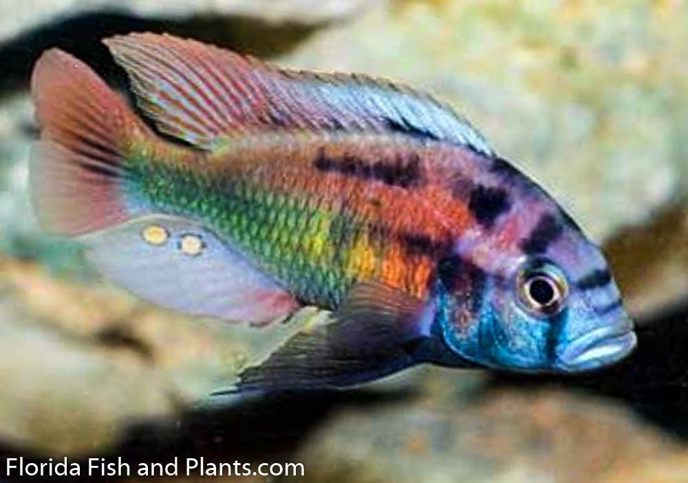 Male Xystichromis Phytophagus Christmas Fulu 1 5 In African Cichlid Cichlid Fish African Cichlids Aquarium Fish