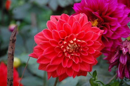 High Resolution Photo Of Red Dahlia Flower In Nature Hd Wallpapers Wallpapers Download High Resolution Wallpapers Dahlia Flower Flowers Flowers Photography