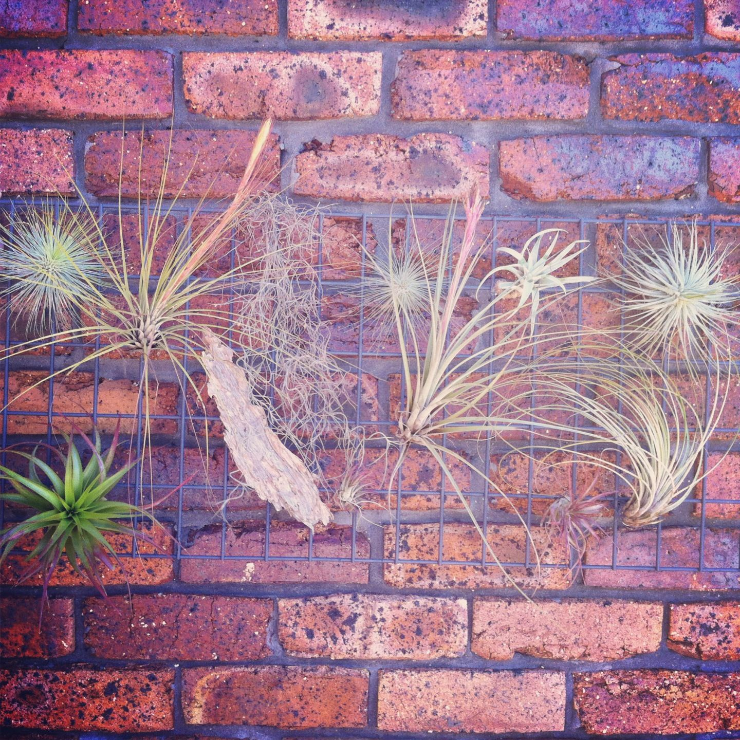 Tillandsia Airplant Frame On Vertical Brick Garden Wall By Airplant