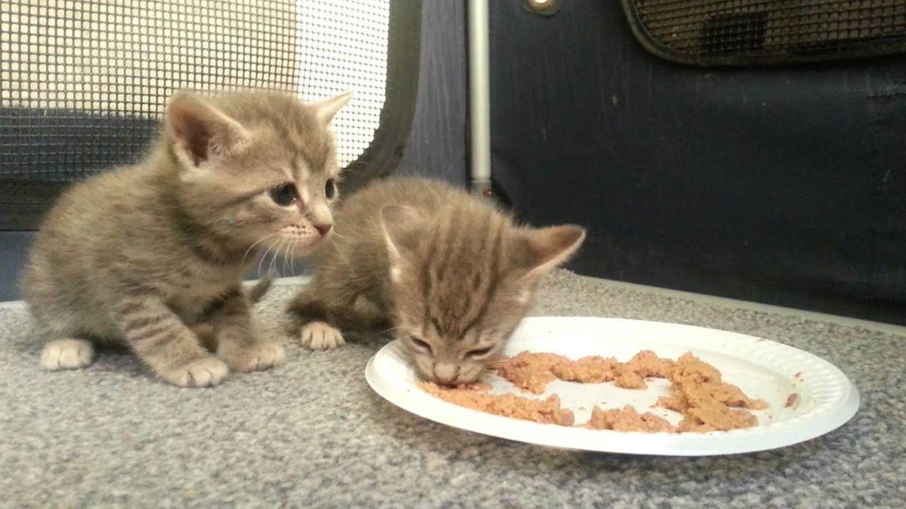 How To Choose Best Food For Kitten In 2020 Kitten Breeds Kittens Kitten Care