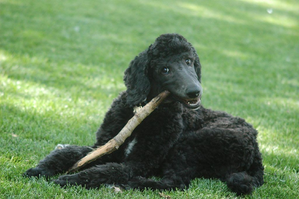 Pin by Barbara Dunlop on Poodles Poodle dog, Poodle